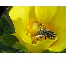 Fly on Flower Photographic Print