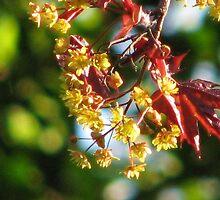 Acer platanoides 'Crimson King' by Dawn OConnor