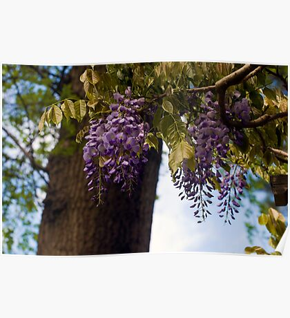 Lovely Wisteria Poster