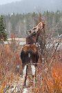 Grazing moose (Alces alces) by zumi