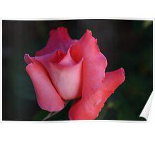Unfurling Petals..... Poster