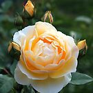 The Yellow Rose of Texas...grown in Kentucky :) by Ruth Lambert