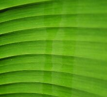Green Leaf by patoy