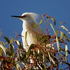 Waiting, Snowy egret  by loiteke