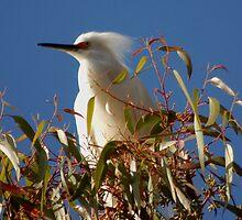 Waiting, Snowy egret  by loiteke
