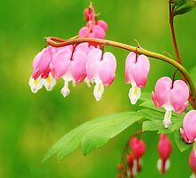 Bleeding Hearts - Spring in MN by toni4ball