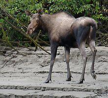 Cow Moose by StevejHansen