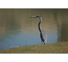 heron fun Photographic Print