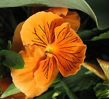 Orange Pansy by Brian Rivera