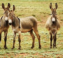 WILD DONKEYS PANAMARA by ANDREW CARMAN