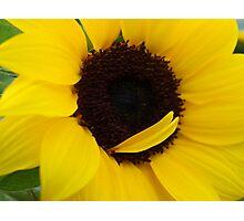 Yellow sun Flower Photographic Print