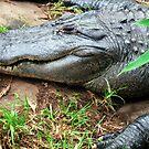 Crocodile by Tara Schultz
