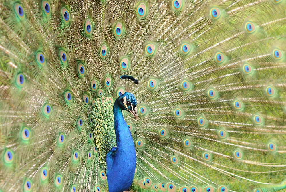 Peacock Displaying Feathers (side on) by Richard Heeks
