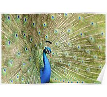 Peacock Displaying Feathers (side on) Poster
