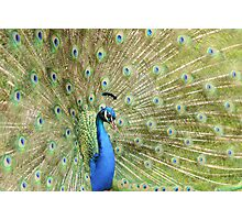 Peacock Displaying Feathers (side on) Photographic Print
