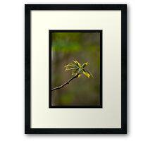 Spring, new leaves, maple Framed Print