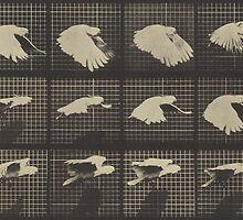 FLying Cockatiel, Muybridge, Animal Locomotion by kroksg