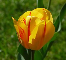Simphony in yellow and red: Tulip (April 2010) by presbi