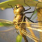 Dragon-fly Macro. by Petehamilton