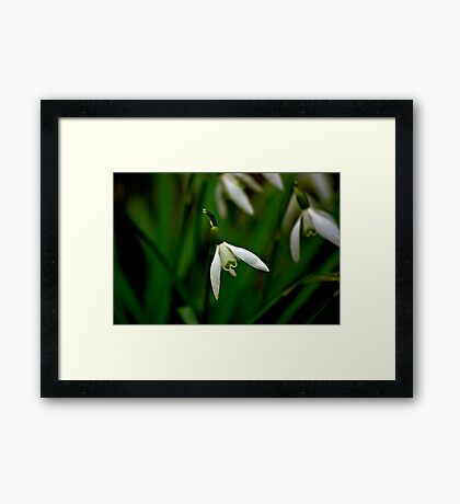 Snowdrop  (Early Spring) Framed Print