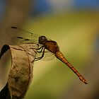 Orange dragonfly by Sea-Change