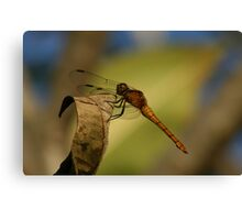 Orange dragonfly Canvas Print