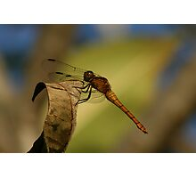 Orange dragonfly Photographic Print