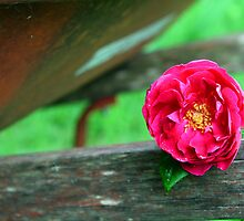 Rose on my Wheelbarrow by Susan Blevins