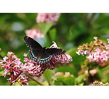 Red Spotted Purple Photographic Print