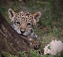 Baby Jaguar by Gail Falcon