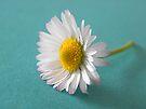 Single Cut Daisy  by rhian mountjoy