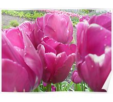 pink tulips from eden Poster