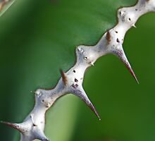Euphorbia cooperi - spine detail by Etwin