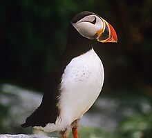 Atlantic Puffin by Gail Falcon