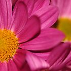 Pink Daisy by Derek McMorrine