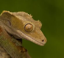 Crested gecko by Angi Wallace