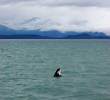 Orca in Alaska Sea Off Boat by Dian  Squire