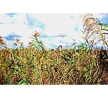 Wheat Fields in Everglades Photographic Print