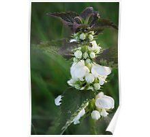 Flowering Nettle Poster