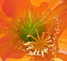 Orange Cactus Flower by Linda Gregory