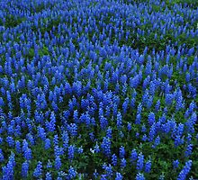 Texas Blue Bonnets by Rena Neal