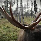 Moose Up Close by Laura Cooper