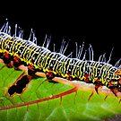 Grapevine moth caterpillar - Phalaenoides tristifica by Paul Grinzi
