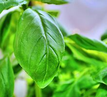 Basil Leaves Macro by lumix