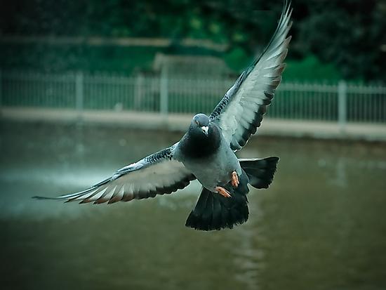 Pigeon in flight - Freedom PT 2.0 by Shehan Fernando