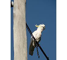 """Sulfur Crested Cockatoo"" Photographic Print"