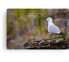 Ring Billed Gull on Rock - Ottawa, Ontario Canvas Print