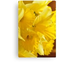 Daffodils, As Is Canvas Print
