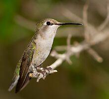 Hummingbird  by Chris Heising