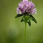 Clover in Springtime by Annie Lemay  Photography